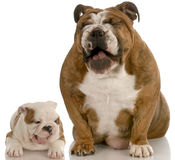Funny dogs laughing Stock Photo
