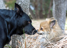 Funny Dogs Nose to Nose. A black Lab and a small Pomeranian touching noses Royalty Free Stock Photography