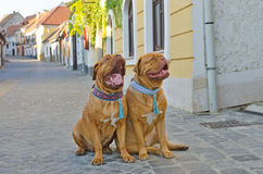 Funny Dogs On The Street Royalty Free Stock Photos