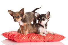 Funny dogs on the pillow  on white background Stock Images