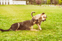 Funny dogs playing with each other on grass in summer Stock Photos
