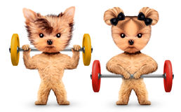 Funny dogs training with barbells in sport gym Royalty Free Stock Images