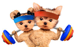 Funny dogs training with barbells in sport gym Stock Image