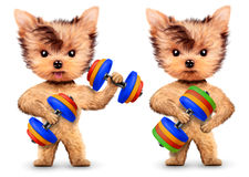 Funny dogs training with dumbbell in sport gym Stock Photos