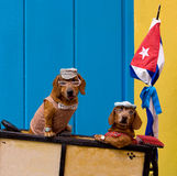 Funny dogs. Two dachshunds in funny costume having ride on the cart. Cuba, Havana stock image