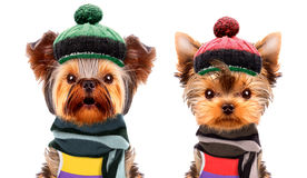 Funny dogs wearing hat and scarf Stock Images