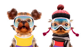 Funny dogs wearing hat and scarf Royalty Free Stock Photo