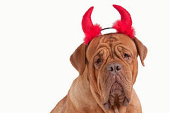 Funny Dogue De Bordeaux Devil dressed for party Royalty Free Stock Photo