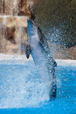 Funny dolphin jumping. During a show at a zoo royalty free stock photo