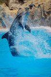 Funny dolphin jumping. During a show at a zoo stock photos