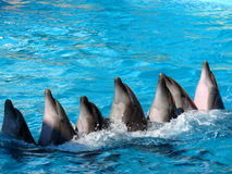 Funny dolphins dance Stock Photos