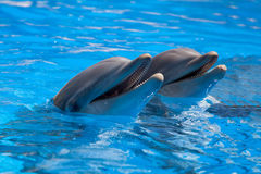 Funny dolphins in the pool Stock Images