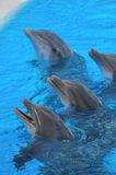 Funny Dolphins Royalty Free Stock Photos