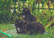 Funny domestic cats. Homely life. Three black kittens. Cute funny Pets. Real friends stock photography