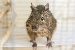 Funny domestic degu squirrel in his house Royalty Free Stock Images