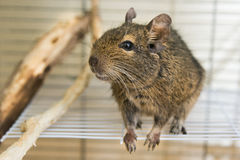 Funny domestic degu squirrel in his house Stock Photo