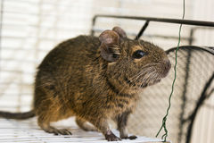 Funny domestic degu squirrel in his house Royalty Free Stock Image