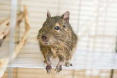 Funny domestic degu squirrel in his house Royalty Free Stock Photos