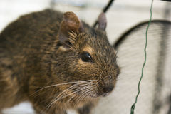 Funny domestic degu squirrel in his house Stock Images