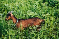 Funny domestic goats grazing on the street royalty free stock photo