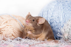 Funny domestic mouse is hiding among tangles of yarn. Yarn is blue, beige, pink and fluffy. Mouse has bushy wiskers. Mouse is funny, cute and curios Royalty Free Stock Photography