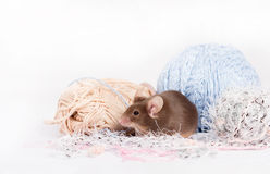 Funny domestic mouse is hiding among tangles of yarn. Yarn is blue, beige, pink and fluffy. Mouse has bushy wiskers. Mouse is funny, cute and curios Royalty Free Stock Image