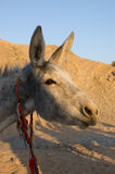 Funny donkey. Picture of funny stubborn donkey in the desert Royalty Free Stock Image