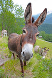 Funny donkey. Shot of funny donkey showing face and ears Stock Image