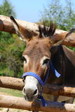 Funny donkey. Portrait of a funny donkey at a farm Stock Photo