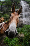 Funny Donkey. Donkey staring at the camera, making a funny face, with a waterfall at the background Stock Image