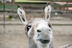 Funny donkey. Close-up portrait Stock Images