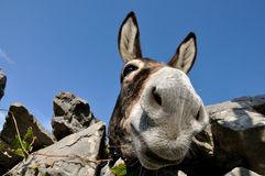 Funny donkey. Close view of funny donkey Stock Photography