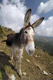 Funny donkey, Equus africanus asinus. A funny portrait of a donkey Royalty Free Stock Photo