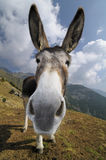 Funny donkey, Equus africanus asinus. A funny portrait of a donkey Stock Images
