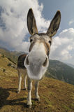Funny Donkey, Equus africanus asinus. Front view of a donkey, Equus africanus asinus stock photos