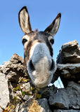 Funny donkey face. Close view of funny donkey Stock Photography