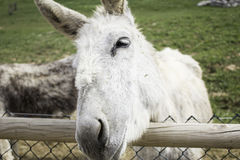 Funny donkey farm. Funny donkey in farm animals, nature Royalty Free Stock Photography
