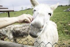 Funny donkey farm. Funny donkey in farm animals, nature Royalty Free Stock Image