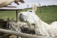 Funny donkey farm. Funny donkey in farm animals, nature Stock Images