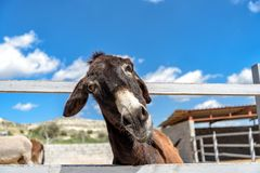 Funny donkey on a farm. Funny brown donkey looking into the camera on a farm in Cyprus Stock Image