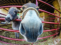 Funny donkey at the farm. Through fisheye lens Royalty Free Stock Images