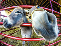 Funny donkey at the farm. Through fisheye lens Stock Images