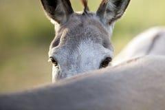 Funny donkey Stock Photos