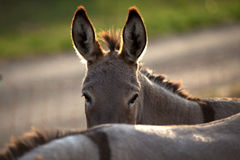 Funny donkey. Hide behind his friend Stock Photo