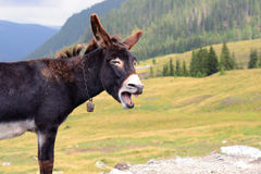 Funny donkey laughing. Funny Donkey that seams to be laughing. In the background are the beautiful Carpathian mountains of Romania. The shot was taken on the Stock Photo