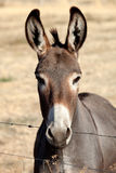 Funny donkey looking at camera. Behind a fence Stock Photos