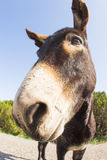 Funny donkey looking at the camera. Cyprus, Karpaz National Park Wild Donkey Protection Area Royalty Free Stock Photos