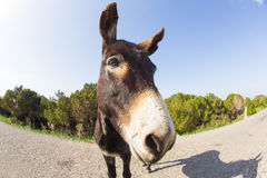 Funny donkey looking at the camera. Cyprus, Karpaz National Park Wild Donkey Protection Area Royalty Free Stock Photo
