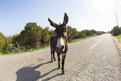 Funny donkey looking at the camera. Cyprus, Karpaz National Park Wild Donkey Protection Area Stock Photo