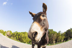 Portrait of funny wild donkey. Funny donkey looking at the camera, Cyprus, Karpaz National Park Wild Donkey Protection Area Stock Photo